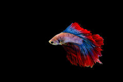 Isolated colorful fighting fish on black background. Isolated colorful male fighting fish on black background Stock Image