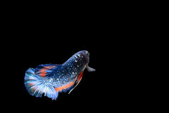 Isolated colorful fighting fish on black background. Isolated colorful male fighting fish on black background Stock Photos