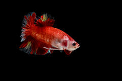 Isolated colorful fighting fish on black background. Isolated red male fighting fish on black background Royalty Free Stock Photo