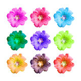Isolated colorful hollyhock flower Royalty Free Stock Image