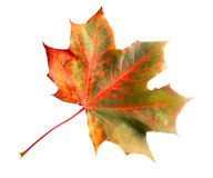 Isolated colorful maple leaf Royalty Free Stock Photos