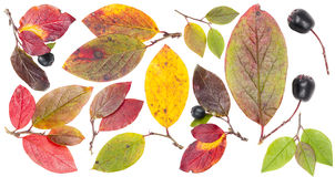 Isolated colorful autumn tree leaves and berries Stock Photo
