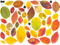 Isolated colorful autumn tree leaves and berries. On white background Royalty Free Stock Photo