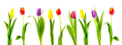Isolated colorful tulip Royalty Free Stock Photo