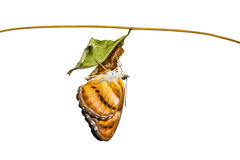 Isolated colour segeant butterfly hanging on chrysalis after eme Stock Images
