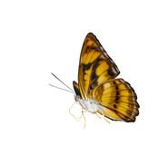 Isolated colour segeant butterfly on white. Isolated colour segeant butterfly ( Athyma nefte ) on white with clipping path royalty free stock image