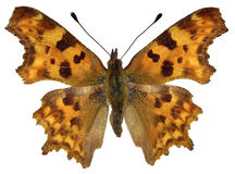 Isolated Comma butterfly Royalty Free Stock Photography