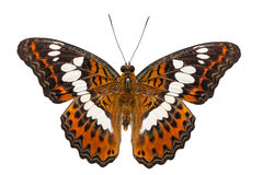 Isolated commander butterfly dorsal view Stock Images