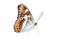 Isolated commander butterfly on white  ( moduza procris ) Stock Photography