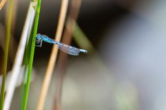 Isolated common blue male damselfly resting on a grass stalk. stock image