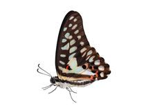Isolated of common jay butterfly (Graphium doson) Stock Image