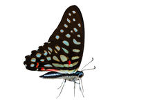 Isolated the common jay butterfly. On white with clipping path Stock Images