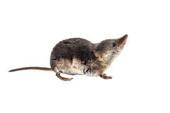 Isolated Common shrew (Sorex araneus) with clipping path. Shrews are among the most primitive animals on planet earth. All modern mammals descend from these Stock Photos