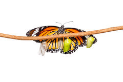 Isolated common tiger butterfly emerging from pupa hanging on tw Royalty Free Stock Photography