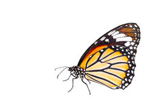 Isolated Common Tiger Butterfly On White Stock Photos