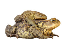 Isolated common toads mating. Brown common toads mating, full length animals isolated over white background Bufo stock images