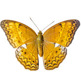 Isolated common yeoman butterfly on white background Royalty Free Stock Images