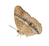 Isolated common yeoman butterfly on white background Stock Images