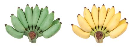 Isolated of compare with green cultivated banana,yellow cultiv stock photography