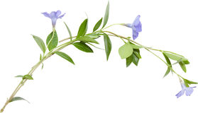 Isolated composition from blue flower periwinkle Stock Image