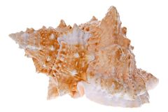 Isolated conch  Stock Images
