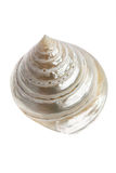 An isolated conch seashell. On white background royalty free stock image