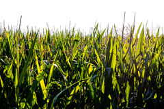 Corn field isolated Royalty Free Stock Photos