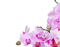 Isolated corner from branches with pink orchid flowrs Stock Image