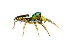 Isolated cosmophasis umbratica jumping spider Stock Image