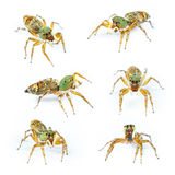 Isolated cosmophasis umbratica jumping spider Stock Photography