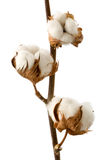Isolated cotton branch Stock Image
