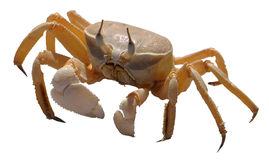 Isolated crab on white background. Isolated close-up picture from a crab isolated on white background royalty free stock photos