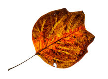 Isolated cracked red autumn leaf Stock Image