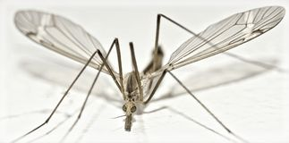 Isolated Crane Fly very close stock photography