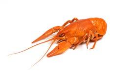 Isolated crayfish on white background. Closeup of isolated crayfish on white background stock image