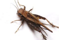 Isolated Cricket. A cricket macro photo against a white backdrop stock photo
