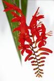 Isolated Crocosmia Lucifer flower Stock Photography