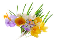 Isolated Crocus. An illustration of isolated crocus flowers in vivid colors Stock Image