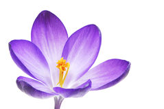 Isolated Crocus Blossom Royalty Free Stock Photo