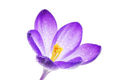Isolated Crocus Blossom Stock Photography