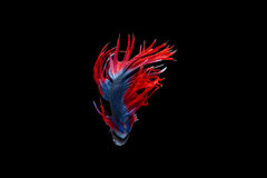 Isolated crowntail betta fish on black background. Isolated fancy crowntail betta fish on black background Stock Images
