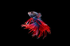 Isolated crowntail betta fish on black background. Isolated crowntail betta fish movement on black background Stock Images