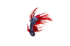 Isolated crowntail betta fish on white background. Isolated fancy crowntail betta fish on white background Stock Photos