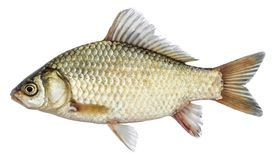 Isolated crucian carp, a kind of fish from the side. Live fish with flowing fins. River fish Stock Images