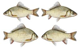 Isolated crucian carp set, a kind of fish from the side. River fish live, with flowing fins Stock Photos