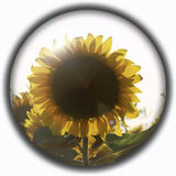 Isolated crystal sphere with a sunflower Royalty Free Stock Image