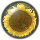 Isolated crystal sphere with a sunflower Stock Photos