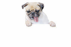 Isolated cute puppy dog pug look down with copy scape for label Royalty Free Stock Image