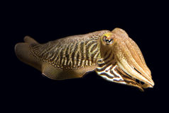 Isolated Cuttlefish royalty free stock photos