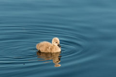 Isolated cygnet swimming on lake. Closeup of isolated cygnet swimming on lake royalty free stock photo
